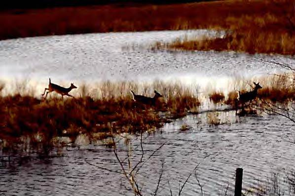 deer jumping in wetland